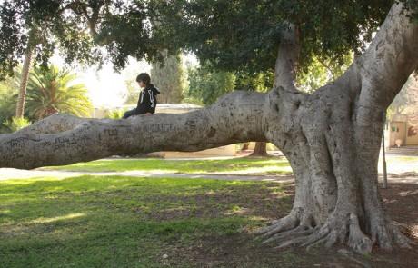"""טיול ט""""ו בשבט: שישה עצים שכיף לטפס עליהם"""
